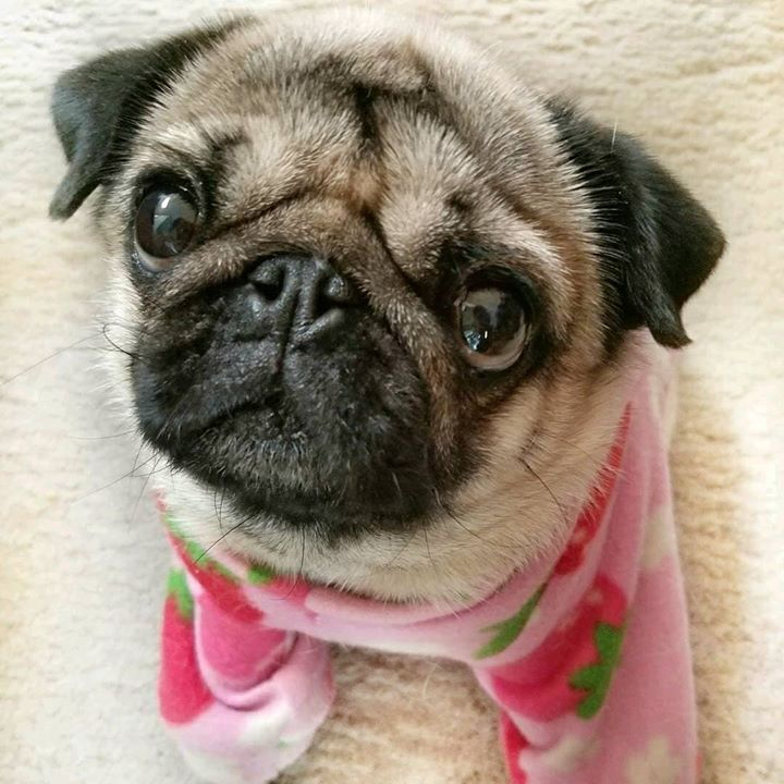 Candy Pugs Cuteness for You