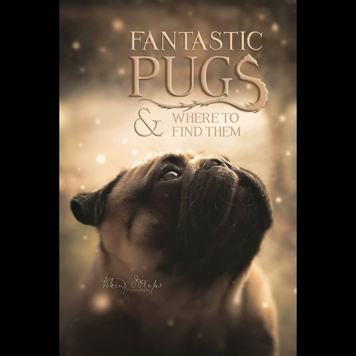 Fantastic Pugs and Where to Find Them