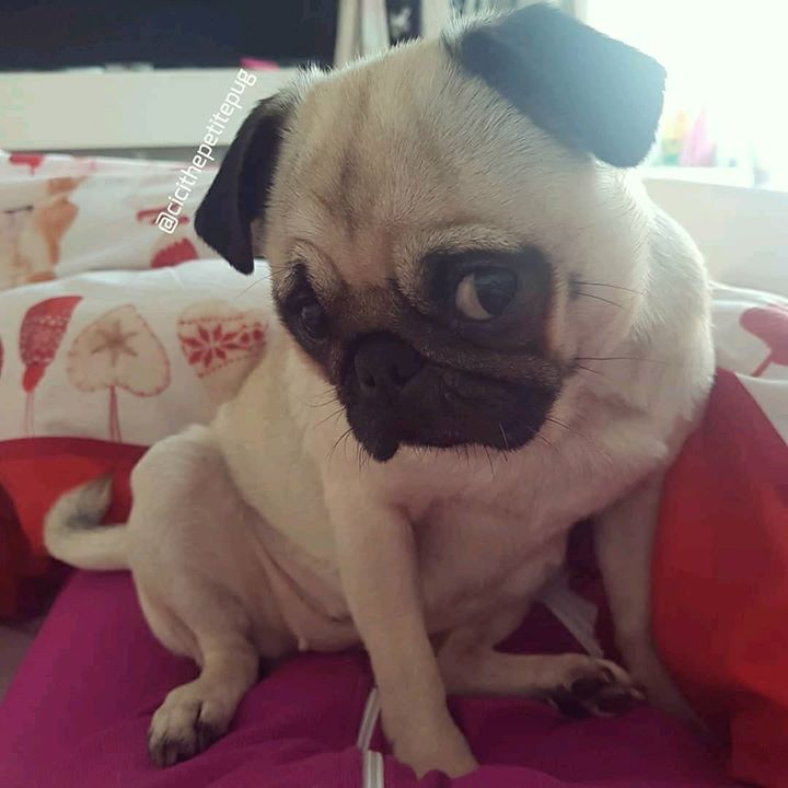 How adorable is Cici the Petite Pug