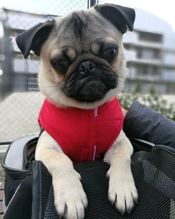 How adorable is Gaudi the Pug?