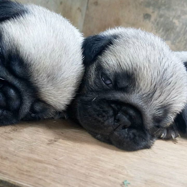 How cute are these Pug babies?