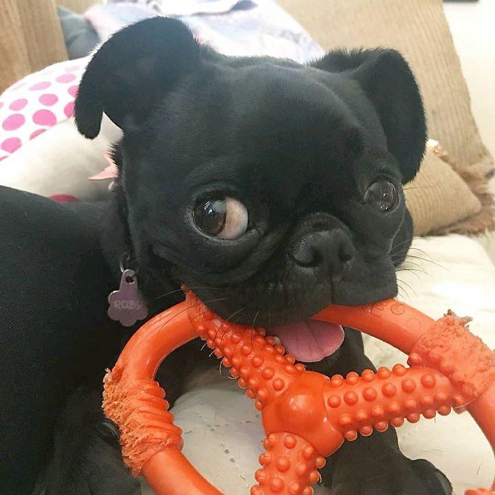 Pug Loves Their Pretzel