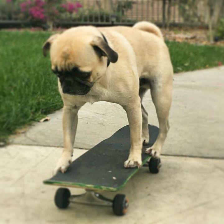 Pug Rides Skateboard