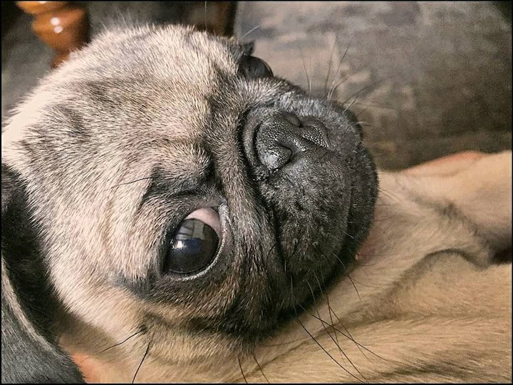 You Looking At Me Pug