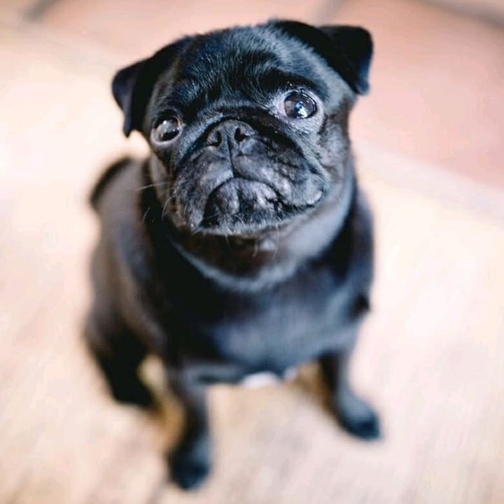 Beautiful Black Pug Wants Food
