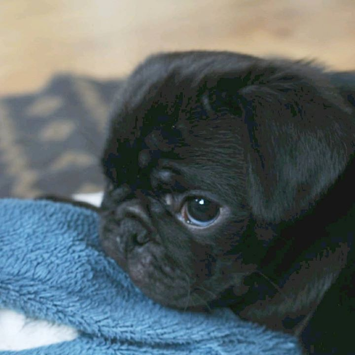 Black Pug Puppy Eyes with Kevin