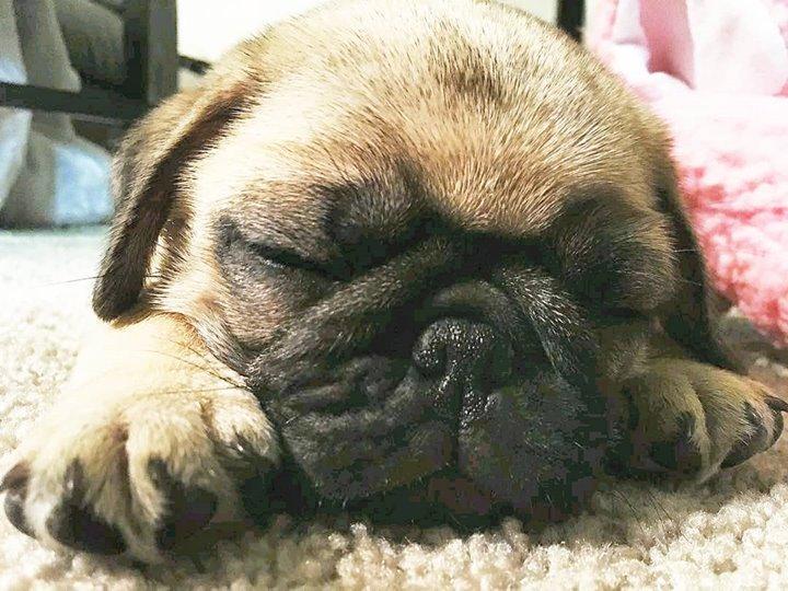Dwight Fawn Pug Sleeps