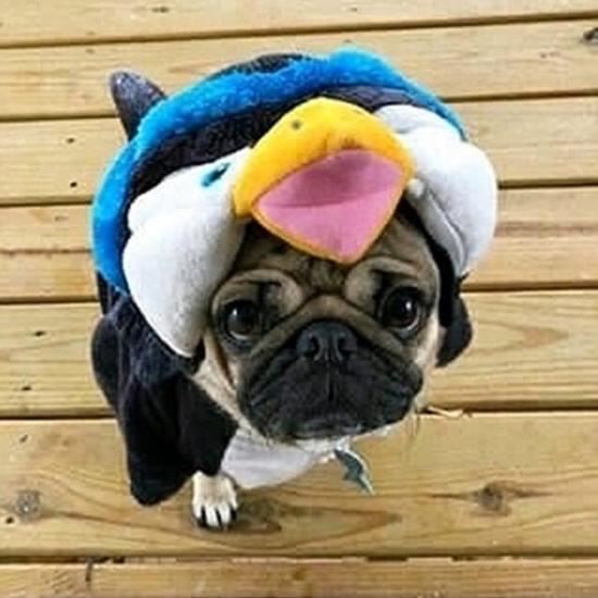 Pug Asks Do You Like My Outfit