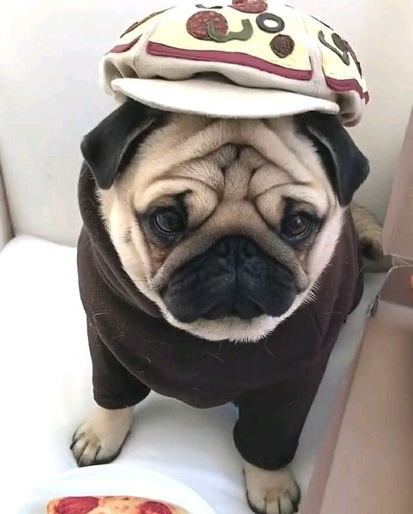 Pug Has Style to Spare