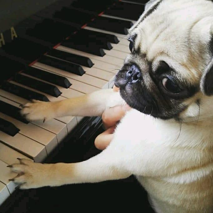 Pug Plays Piano for You with Pinoko