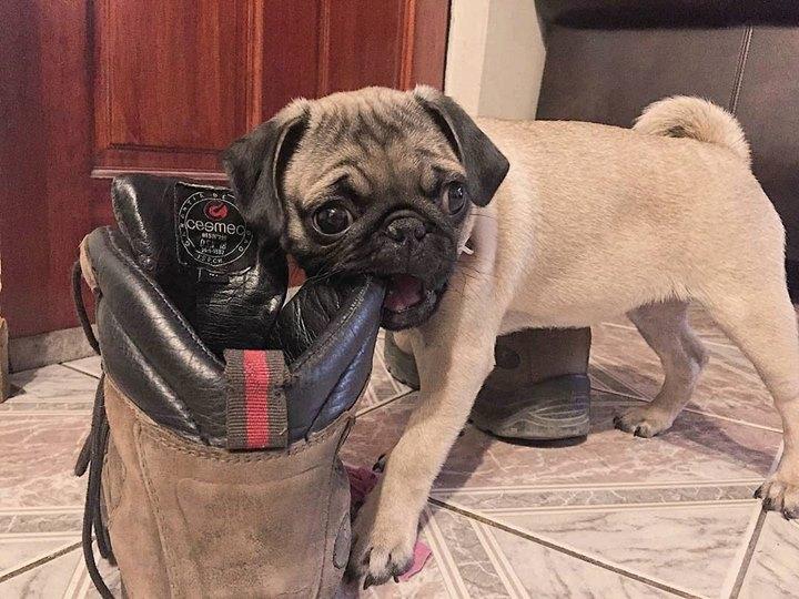 Akira the Pug Eats Shoe