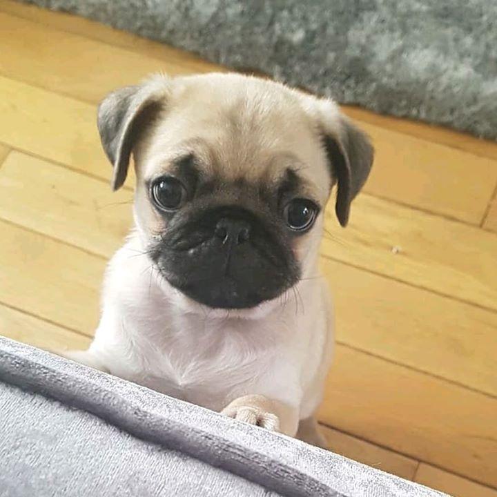 Alfie the Pug Wants a Hug
