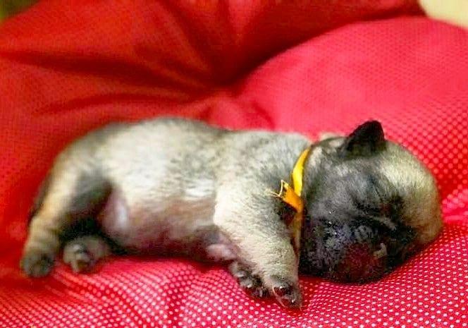 Baby Pug Cuteness