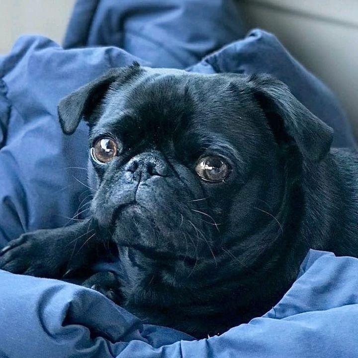Beautiful Black Pug Hagrid