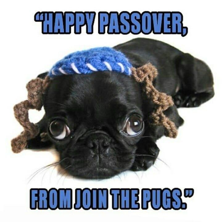 Happy Passover Pug lovers around the world