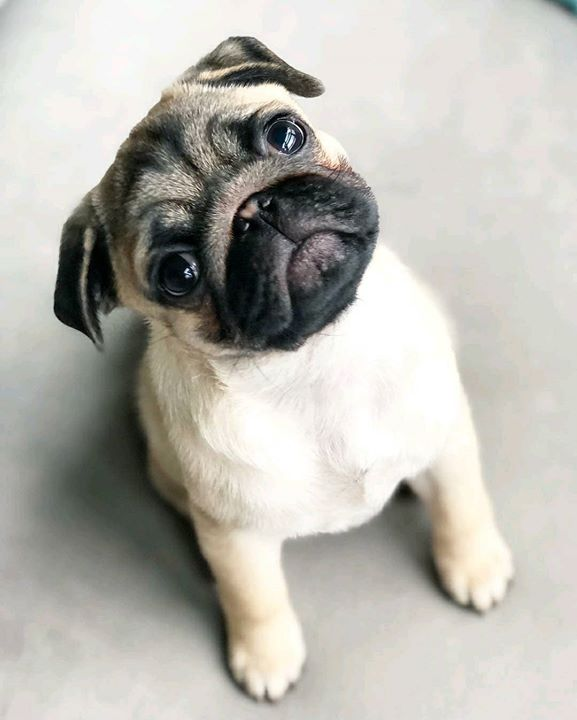 How cute is a Pug named Tug?
