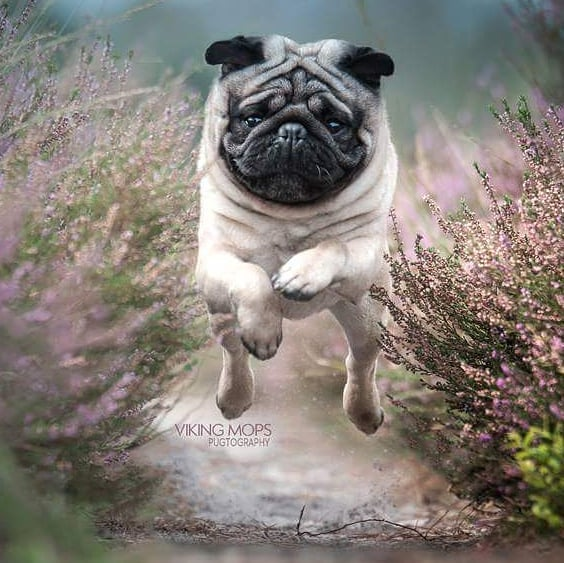 Viking-Mops-Leaps-Into-Cuteness