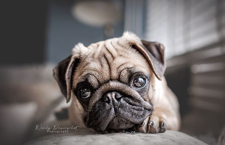 New Pug Puppy From Viking Mops