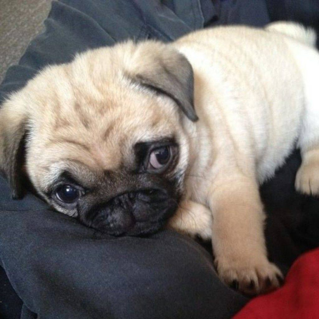 Here's a beautiful little Puggy puppy to brighten up your day