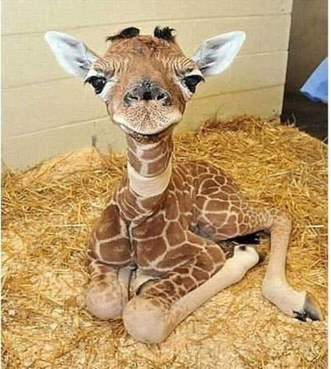 Seeing this 2 day old baby giraffe made my day